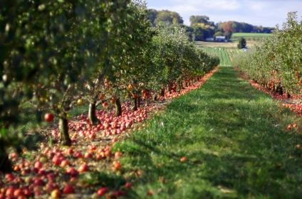 Jeff Kubina, Apple Orchard https://www.flickr.com/photos/kubina/2058047853/