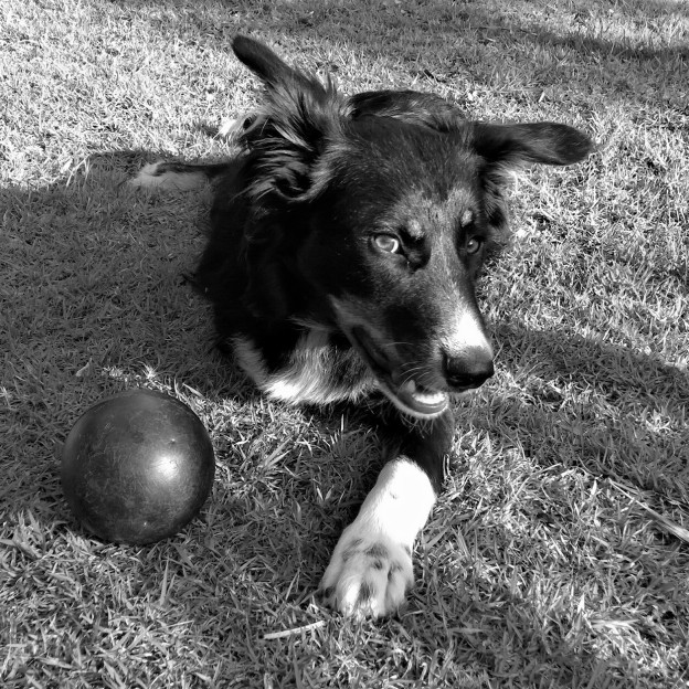 Ziggy the Three-Legged Wonder Dog