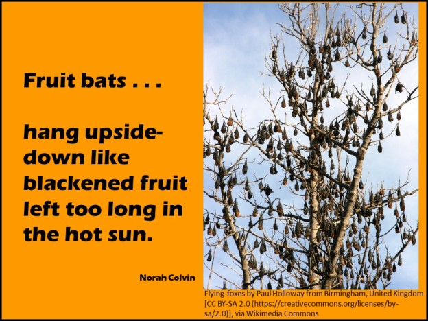 fruit bats hang upside down like blacked fruit