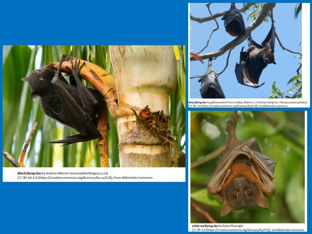 black flying foxes, grey-headed flying foxes, little red flying foxes