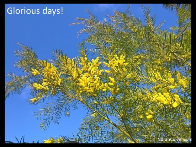 a photograph of a glorious spring day in Queensland with clear blue skies and wattle in bloom