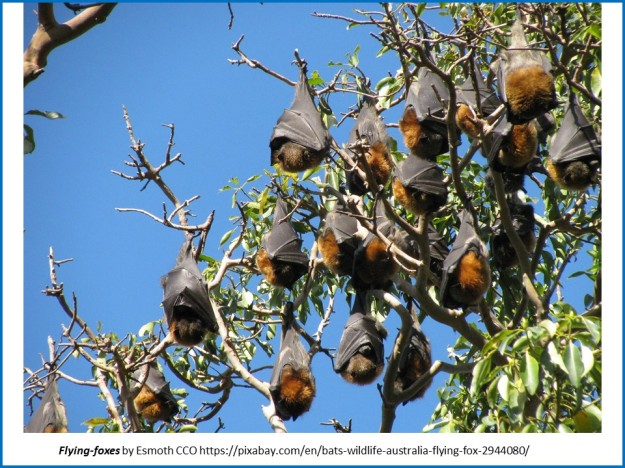 flying foxes hanging in trees